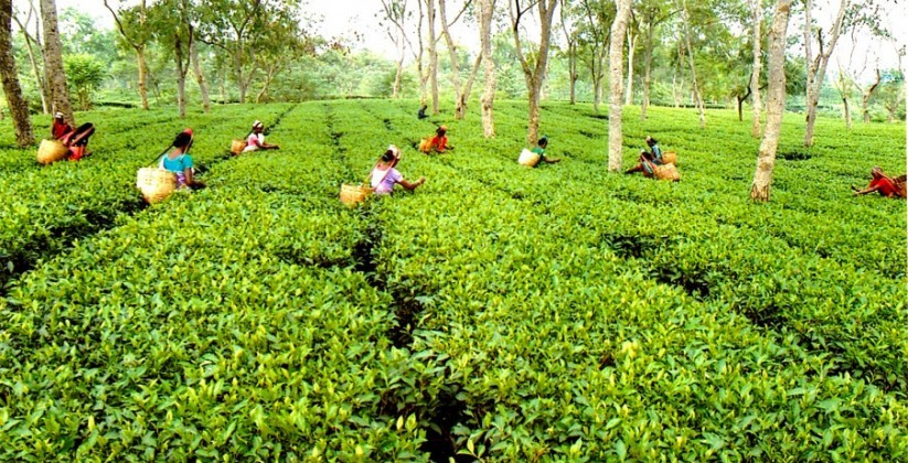 Tea Estate and Rain Forests, Sylhet - Isshh