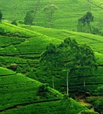 tea_estates