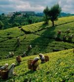 Tea Estate and Rain Forests, Sylhet - Isshh